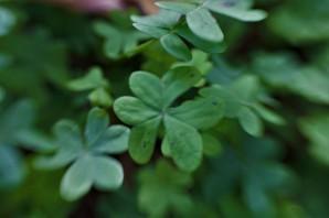 clover10
