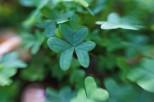 clover11