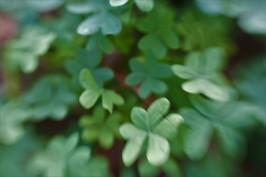 clover12
