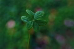 clover8