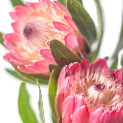 protea.pink.2.4