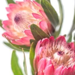 protea.pink.2.4